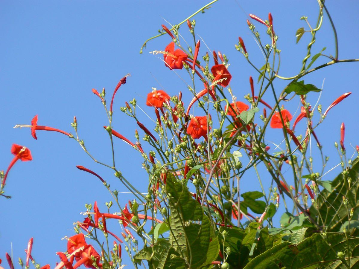 El quamoclit es una planta trepadora de flores rojas