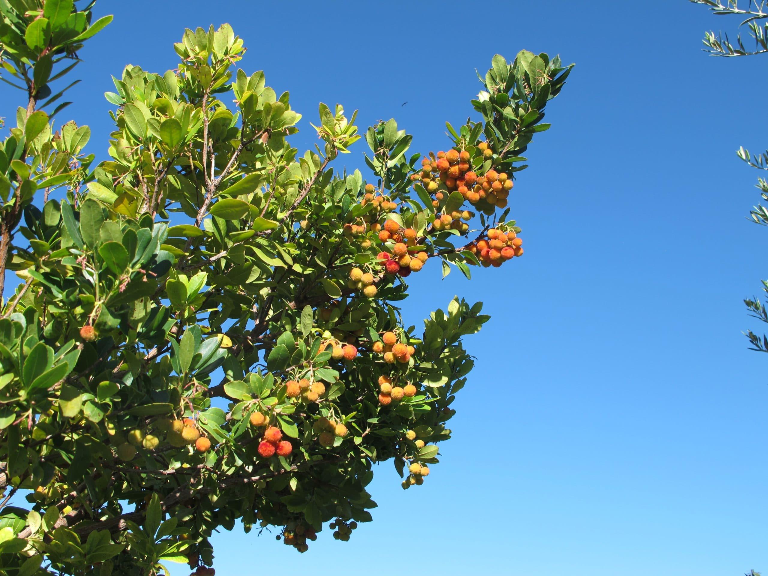 fruit laden branch