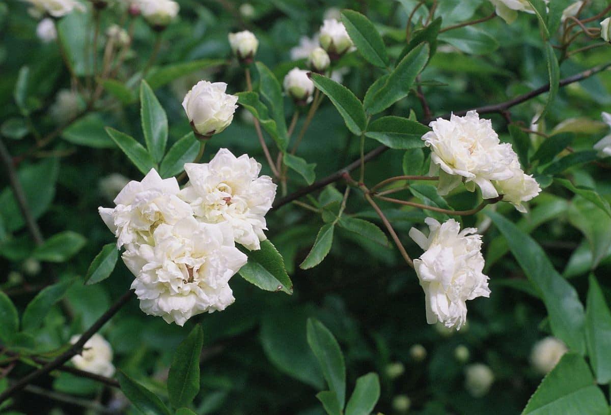 La Rosa de Banksia es una trepadora que florece en primavera