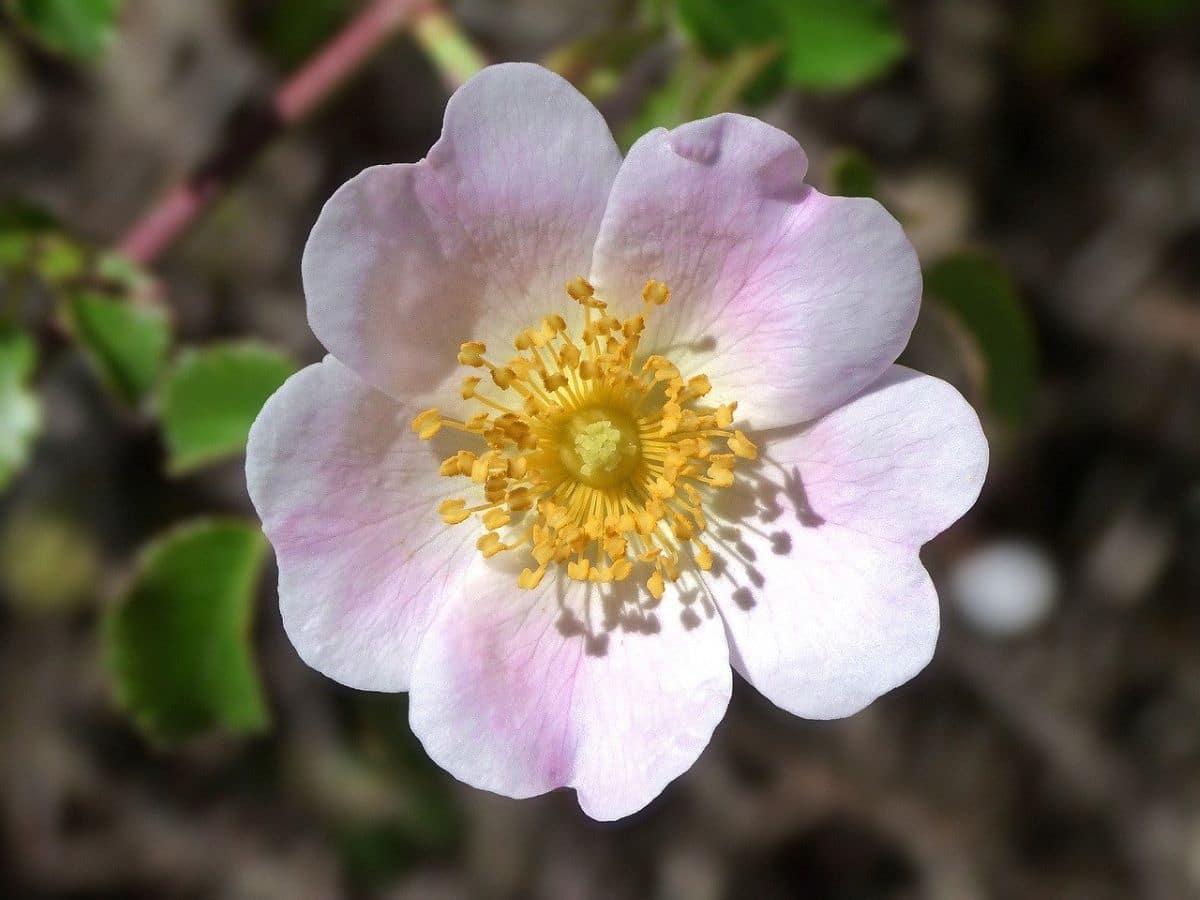 La Rosa canina tiene flores pequeñas