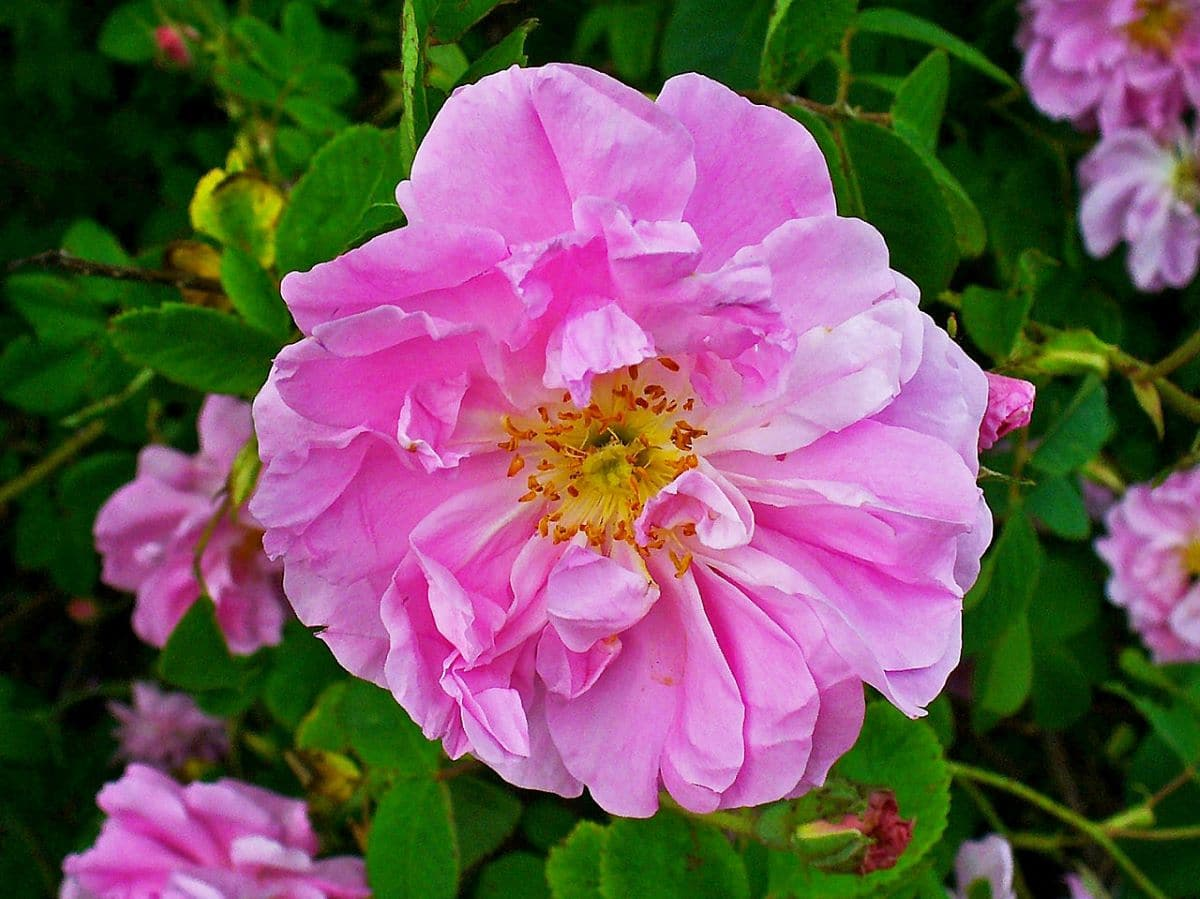 La Rosa damascena es un arbusto de flores grandes
