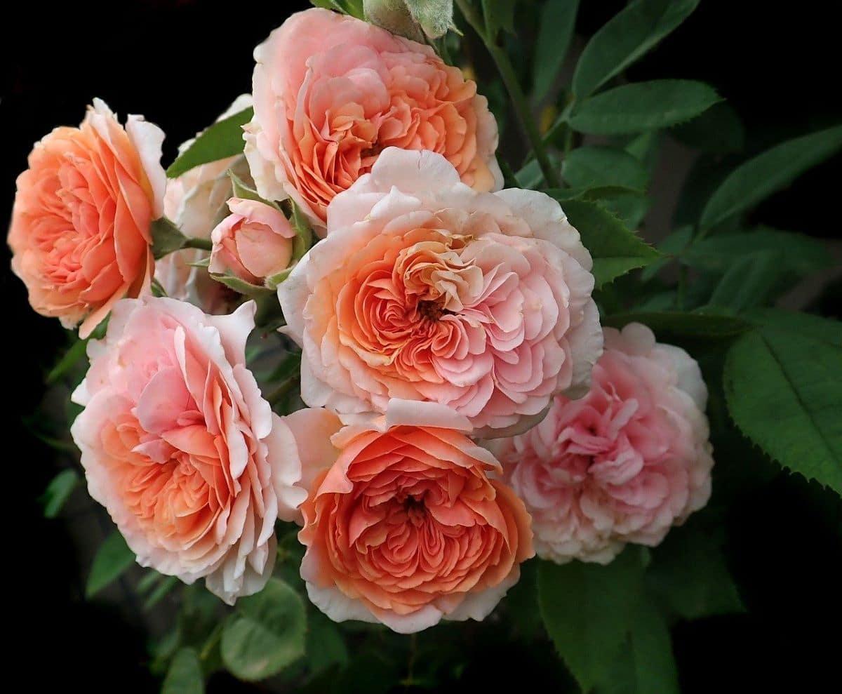 Las rosas de David Austin son grandes