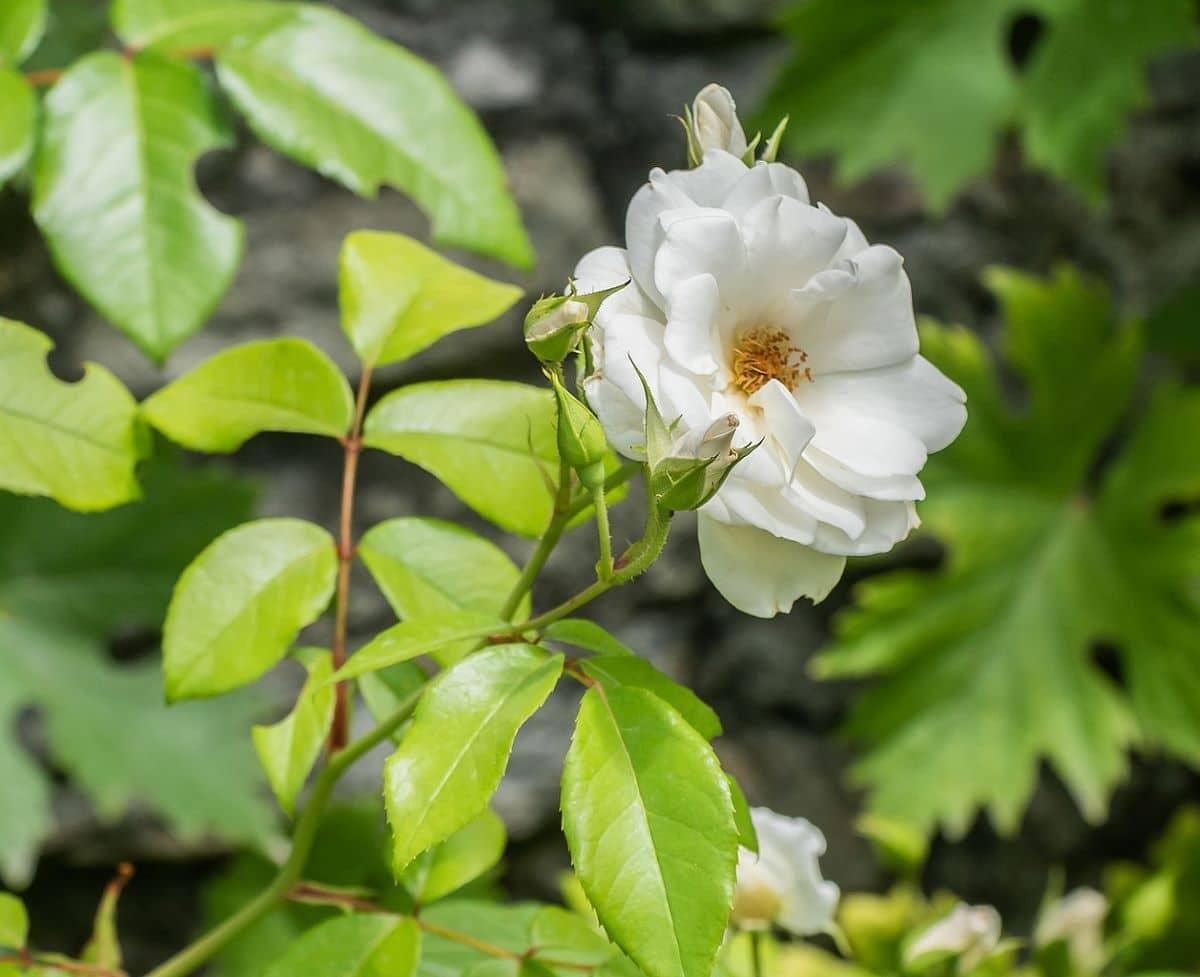 La Rosa floribunda saca muchas flores