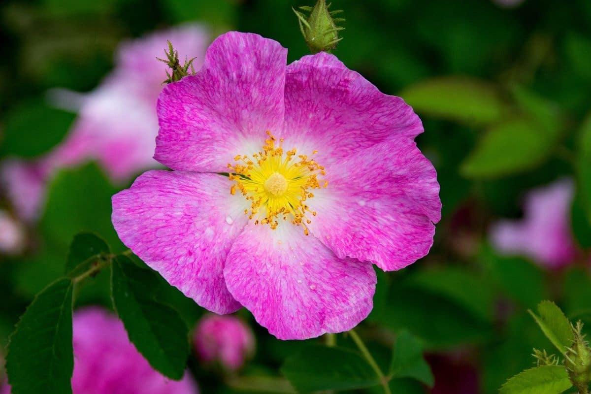 La Rosa gallica tiene flores medianas