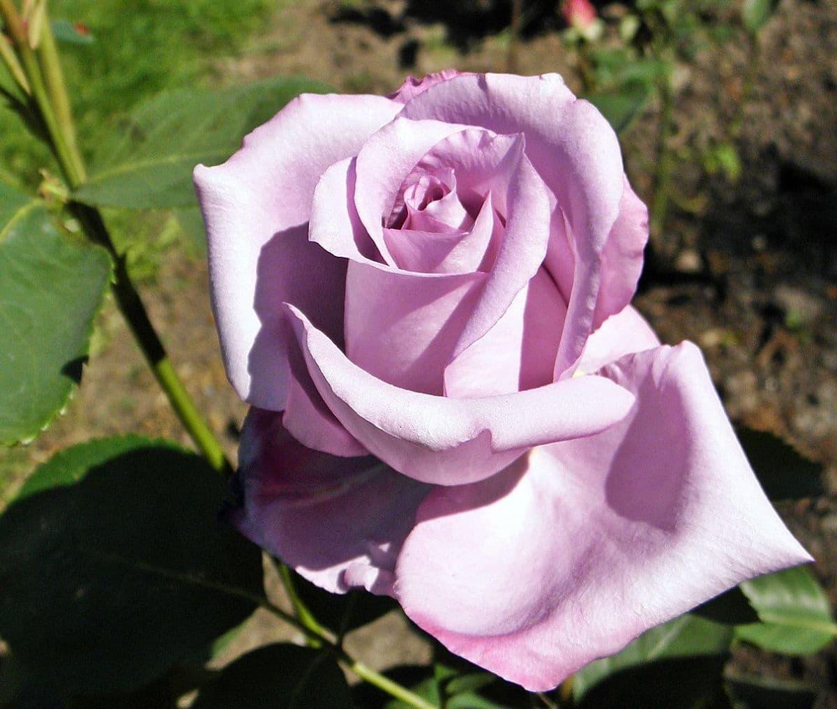 La rosa híbrido de té es un arbusto de flores grandes