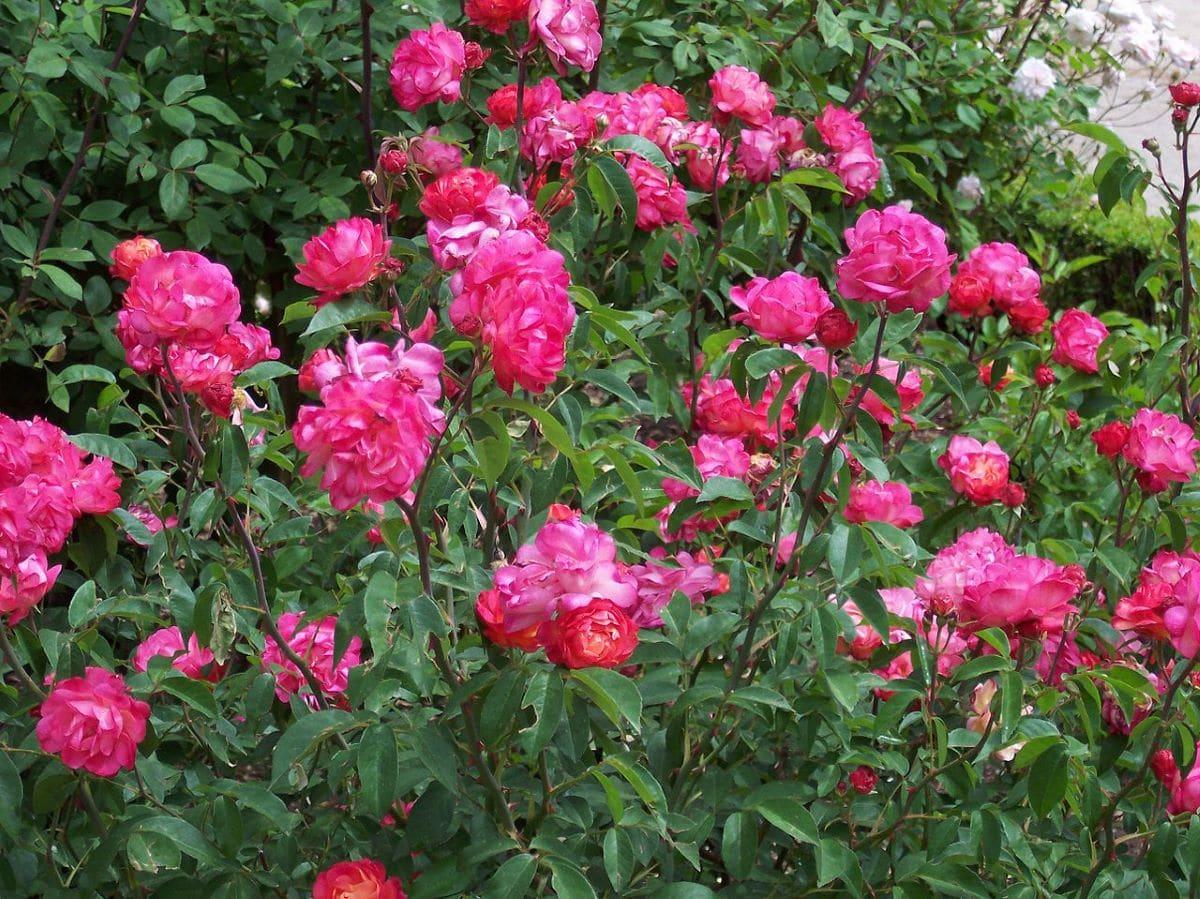 La Rosa polyantha saca muchas flores