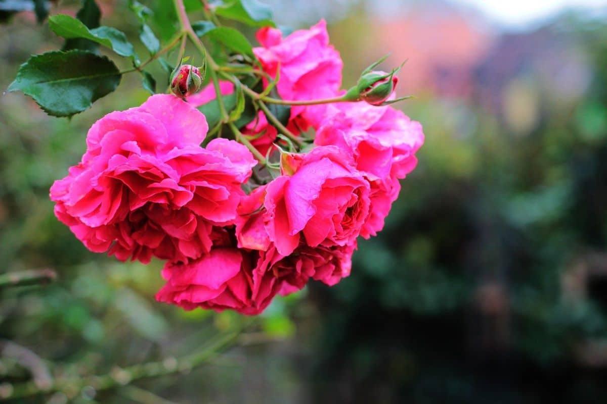 El rosal llorón es un arbusto