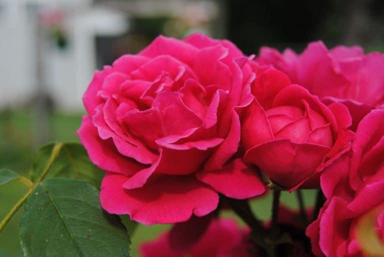 El rosal es un arbusto que tiene flores todo el año