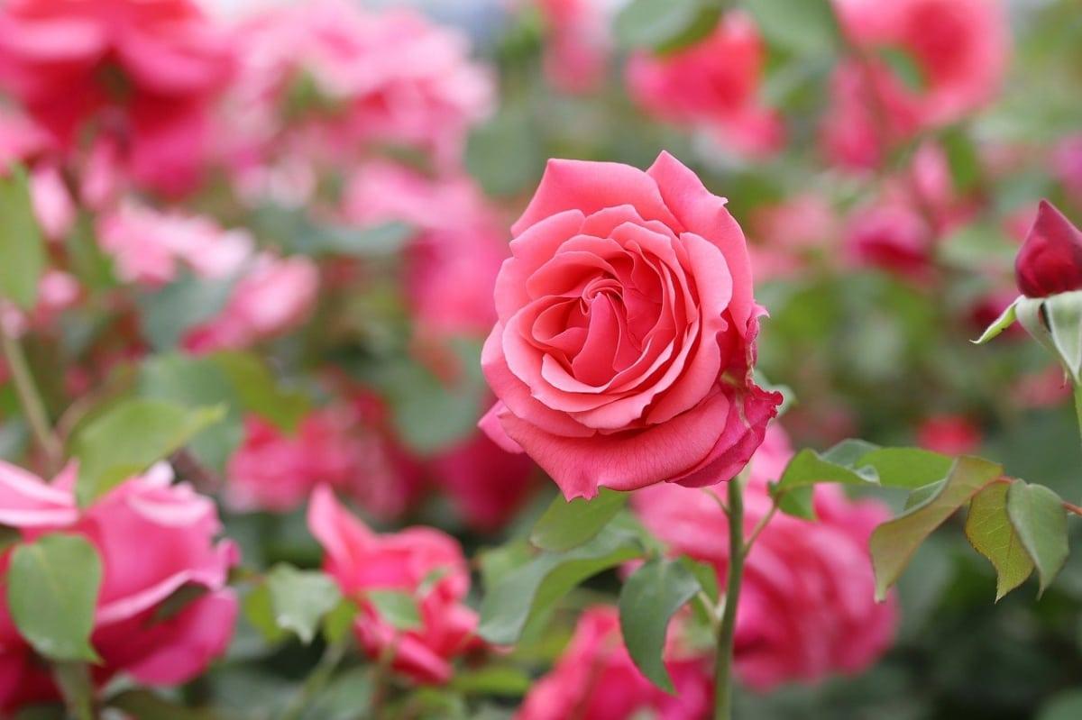 El rosal es un arbusto que florece buena parte del año