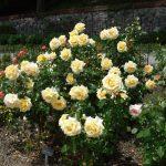 Los rosales son plantas que florecen en primavera