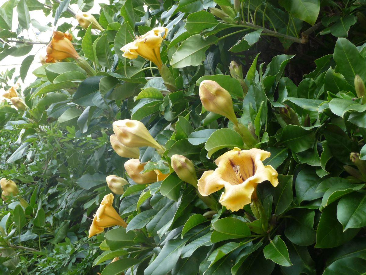 La Solandra maxima es una trepadora de flores amarillas con forma de trompeta