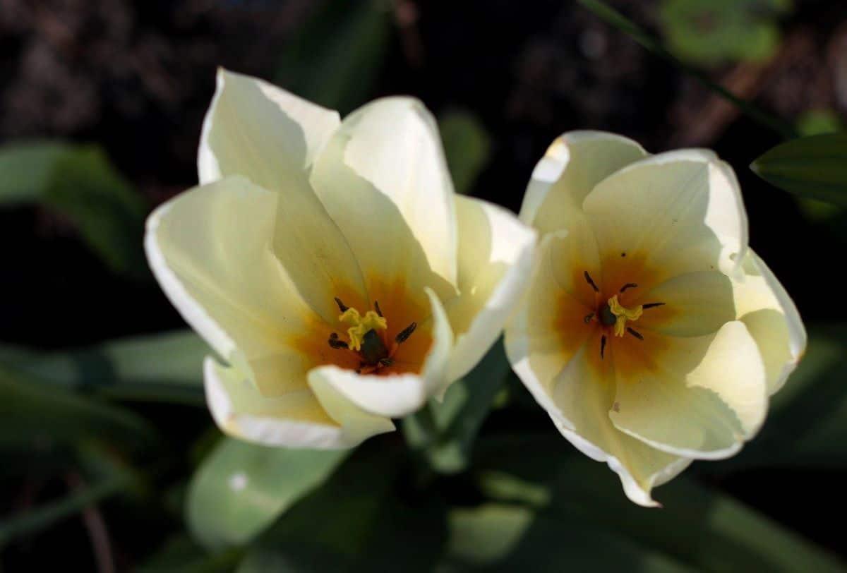 El Tulipa fosteriana tiene flores blancas