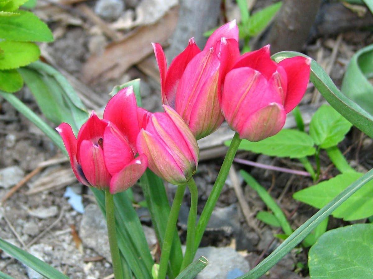El tulipán tiene flores de colores vistosos