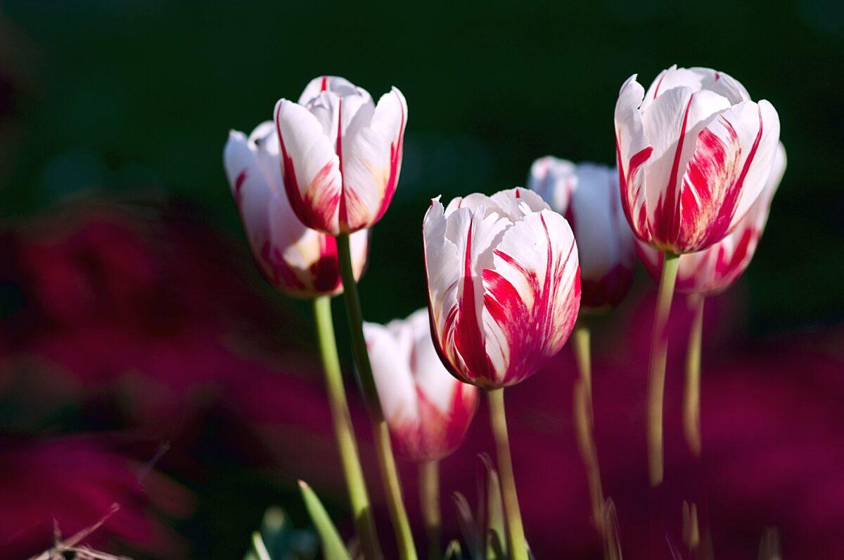El tulipán florece una vez al año