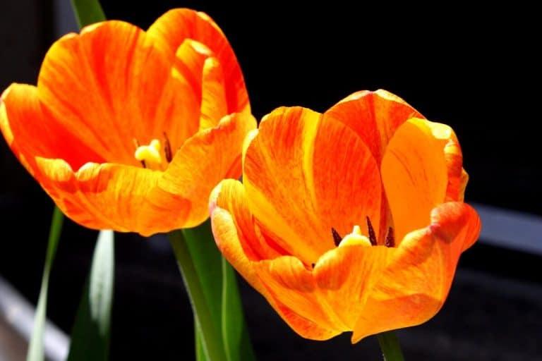 Los tulipanes son bulbos de primavera