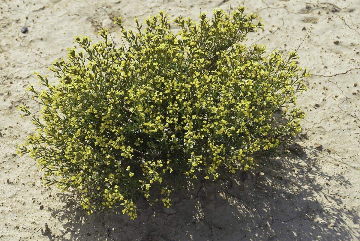 vella pseudocytisus planta arbustiva