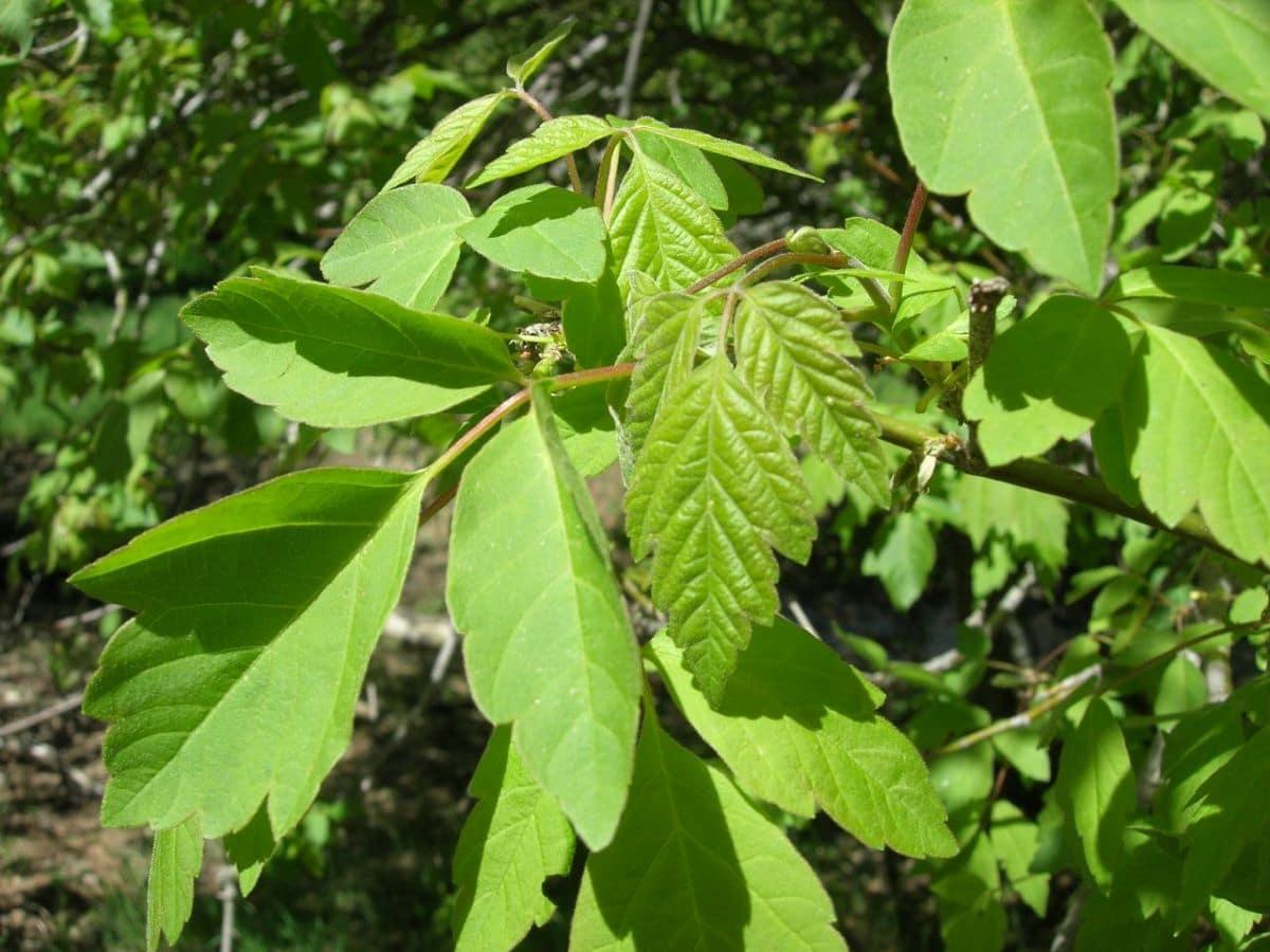 El Acer negundo tiene las hojas pinnadas