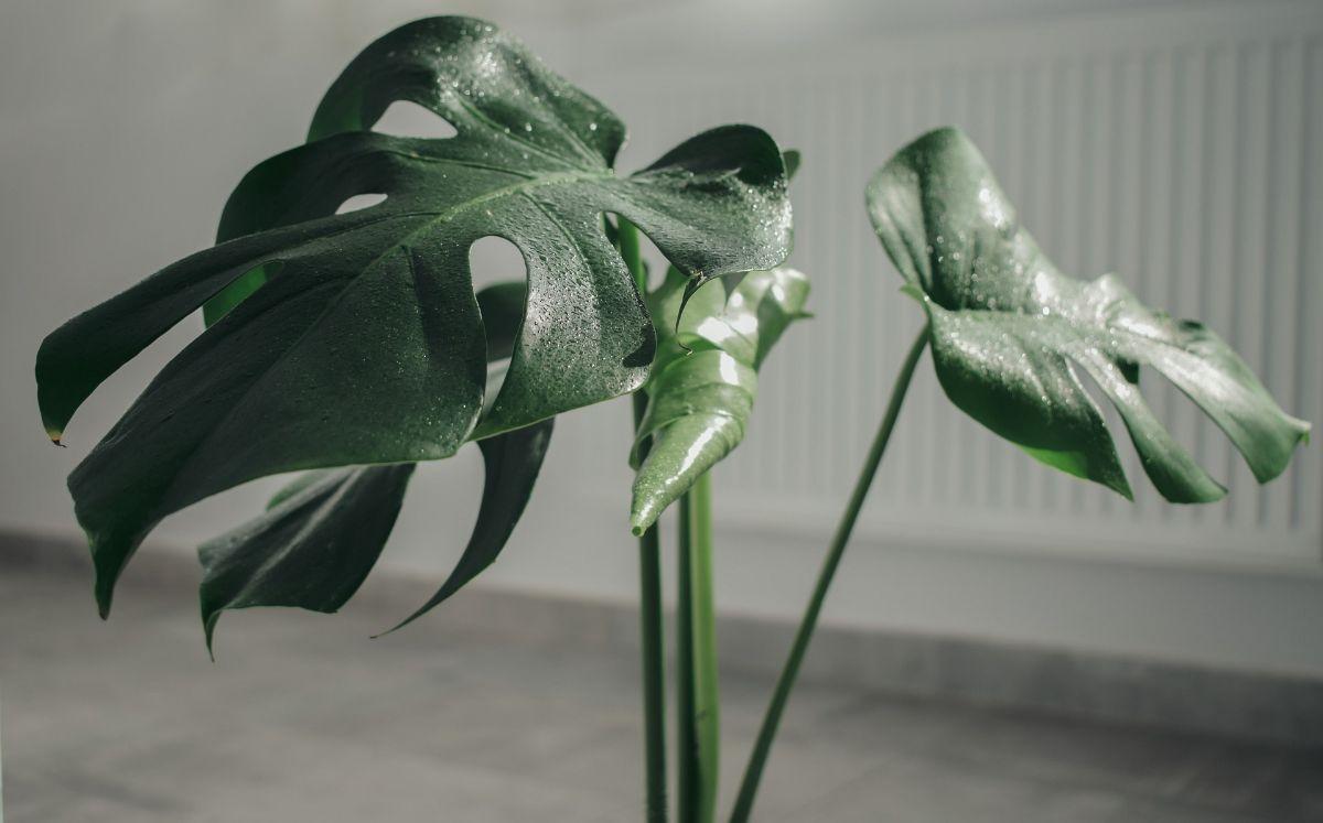 Las flores, ese 'regalo' si cumples con los cuidados de la Monstera