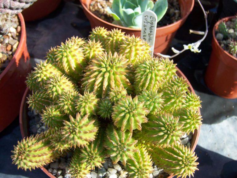 Euphorbia suzannae, es una suculenta pequeña