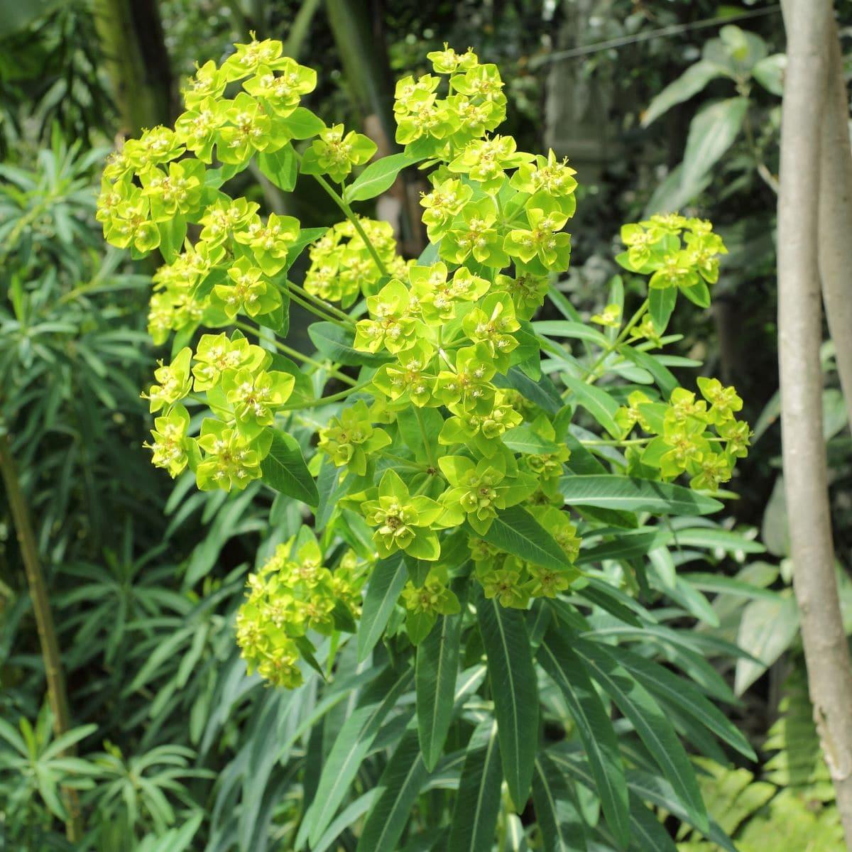 La Euphorbia es un género de plantas muy numeroso