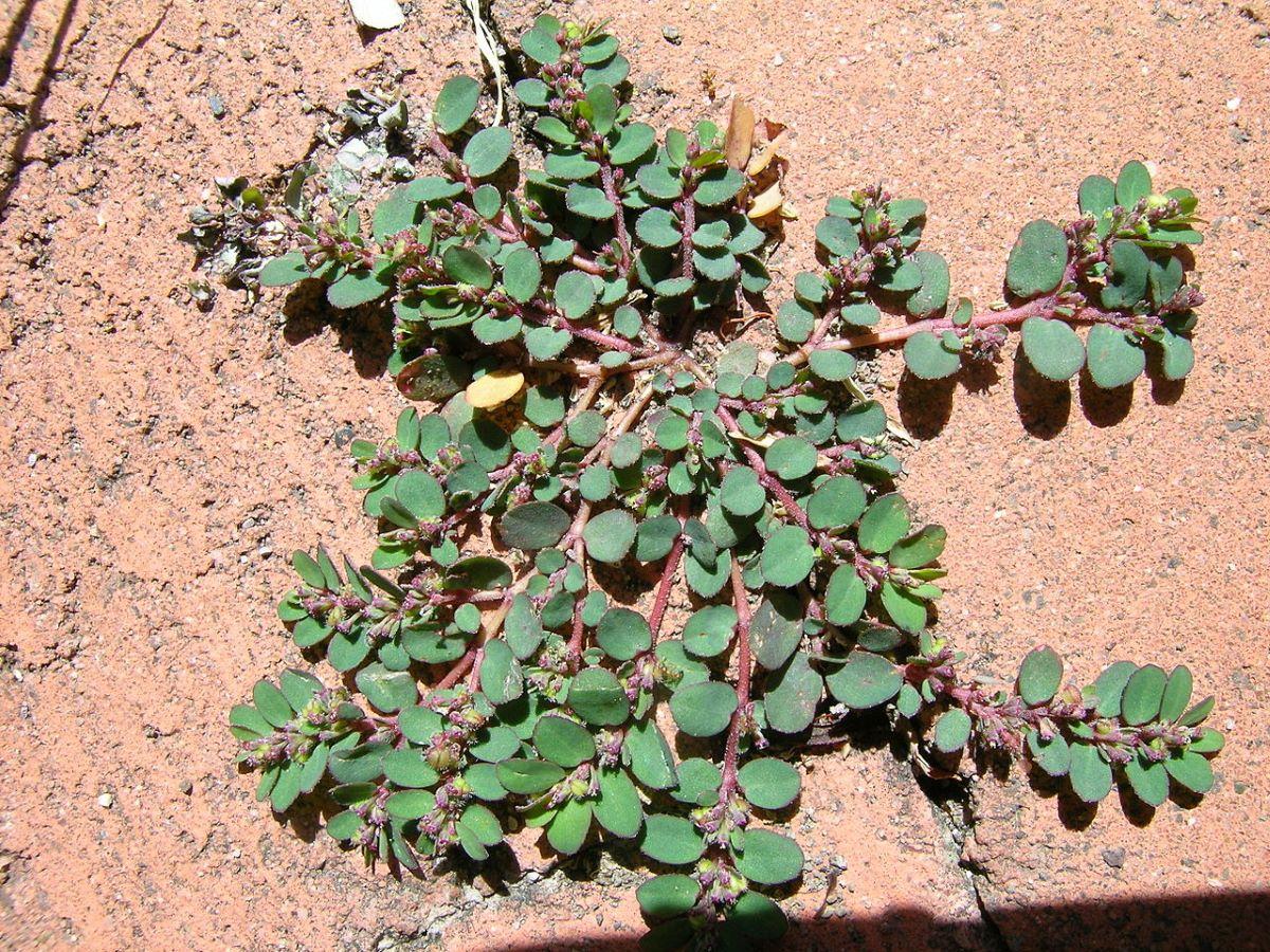 La Euphorbia prostrata es una hierba de porte bajo