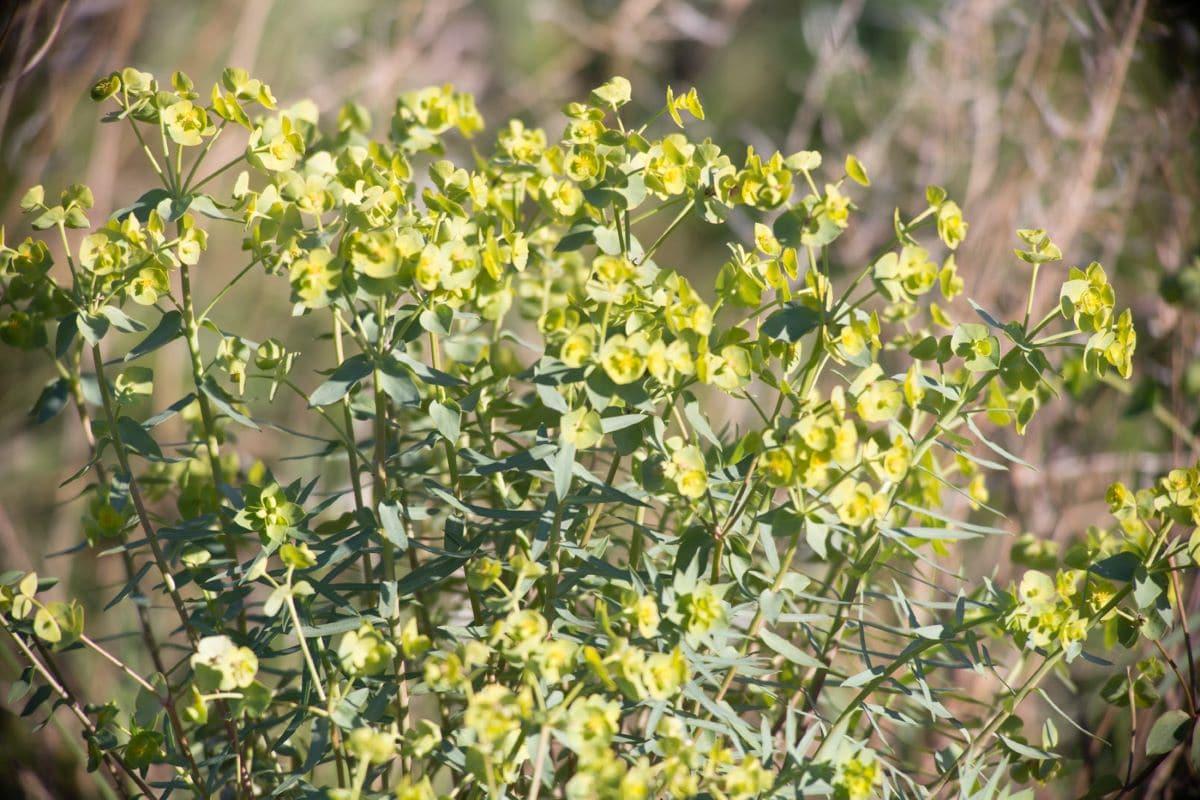 La Euphorbia terracina es una hierba