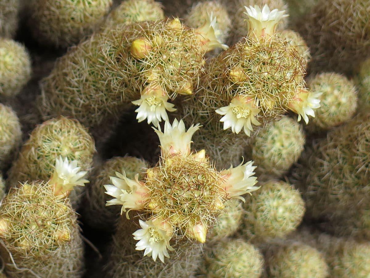 La Mammillaria elongata es un cactus con flores blancas