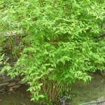 La celinda es un arbusto perenne de rápido crecimiento