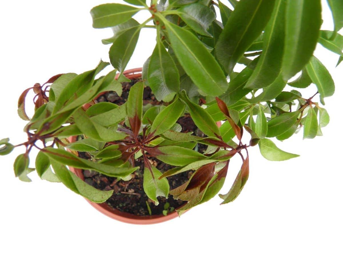 La Pieris japonica es un arbusto susceptible al phytopthora