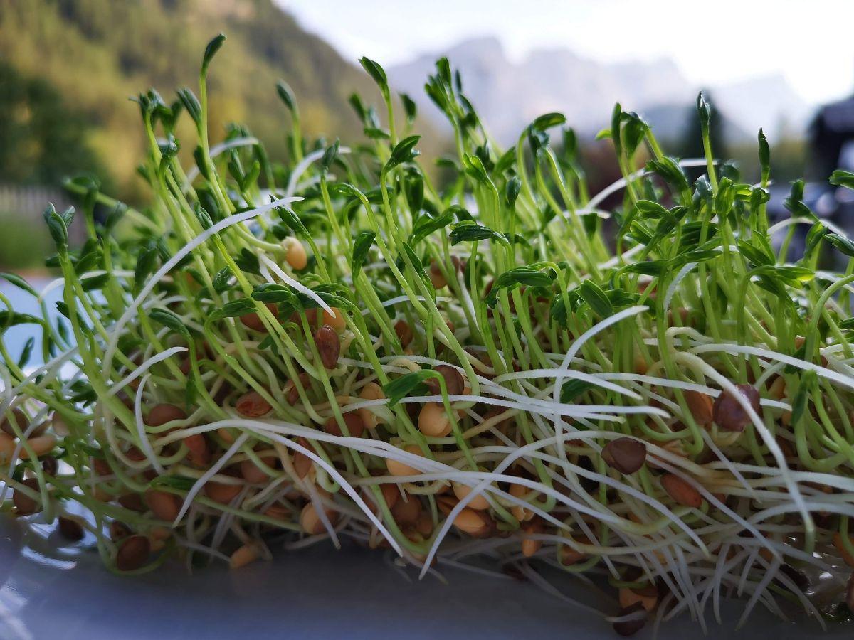 ¿Cómo sembrar lentejas germinadas?