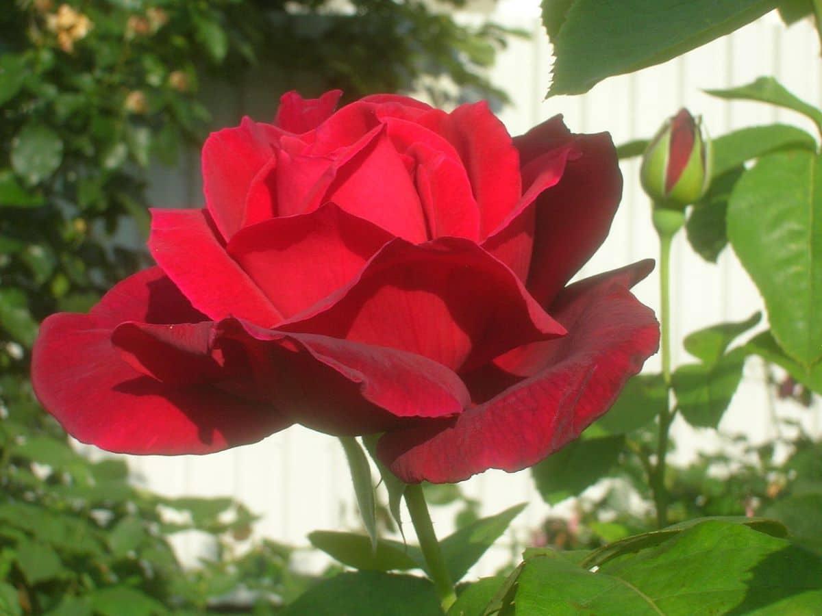 Los rosales son arbustos espinosos