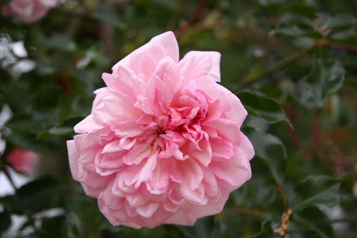 Hay cientos de cultivares de rosales bonitos
