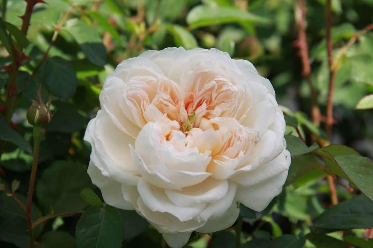 Los rosales se cultivan en el exterior