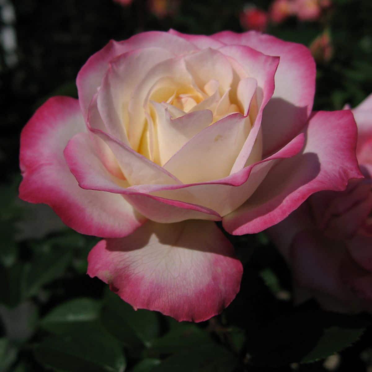 Los rosales son plantas fáciles de cuidar
