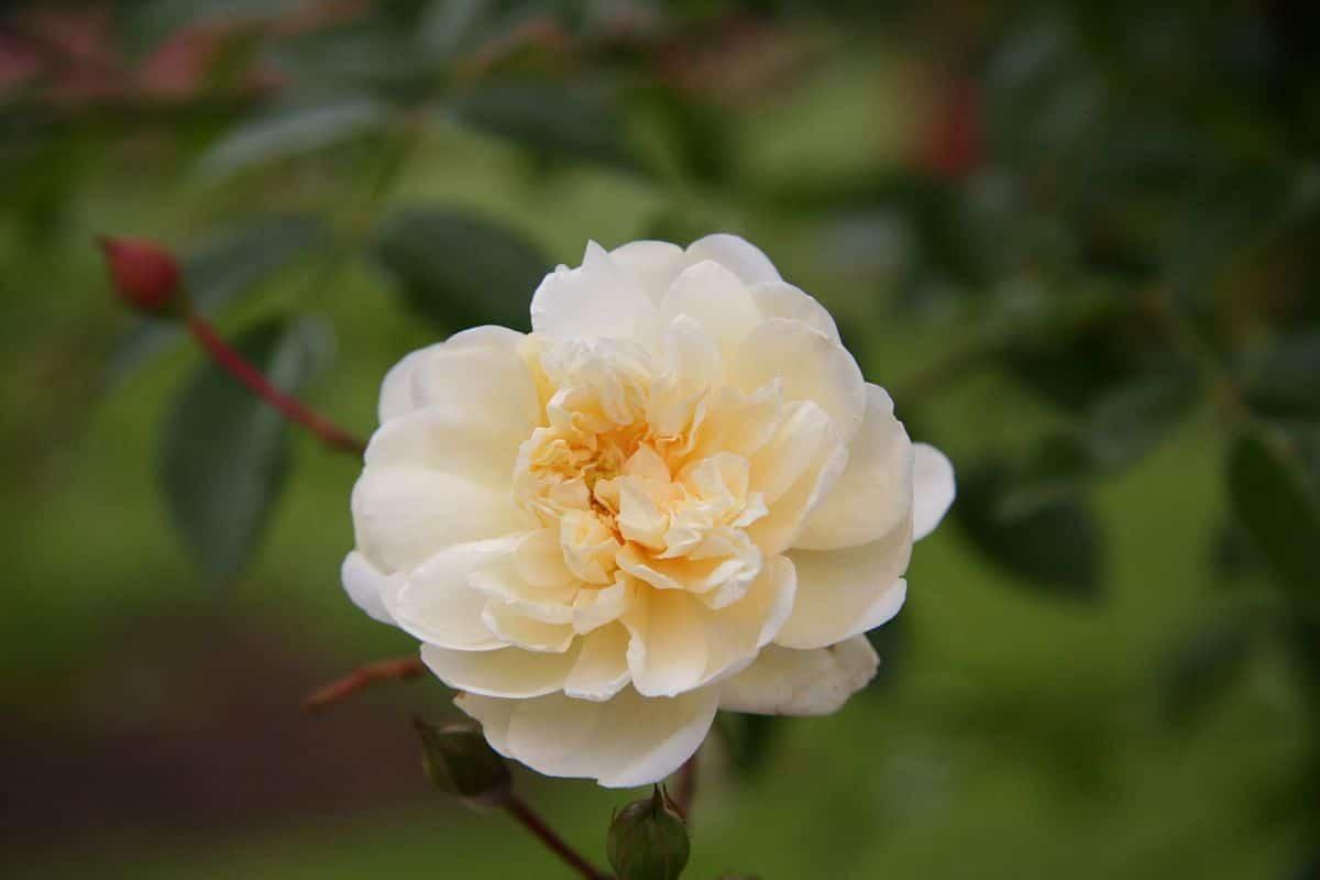 Hay muchas rosas bellas en el mundo