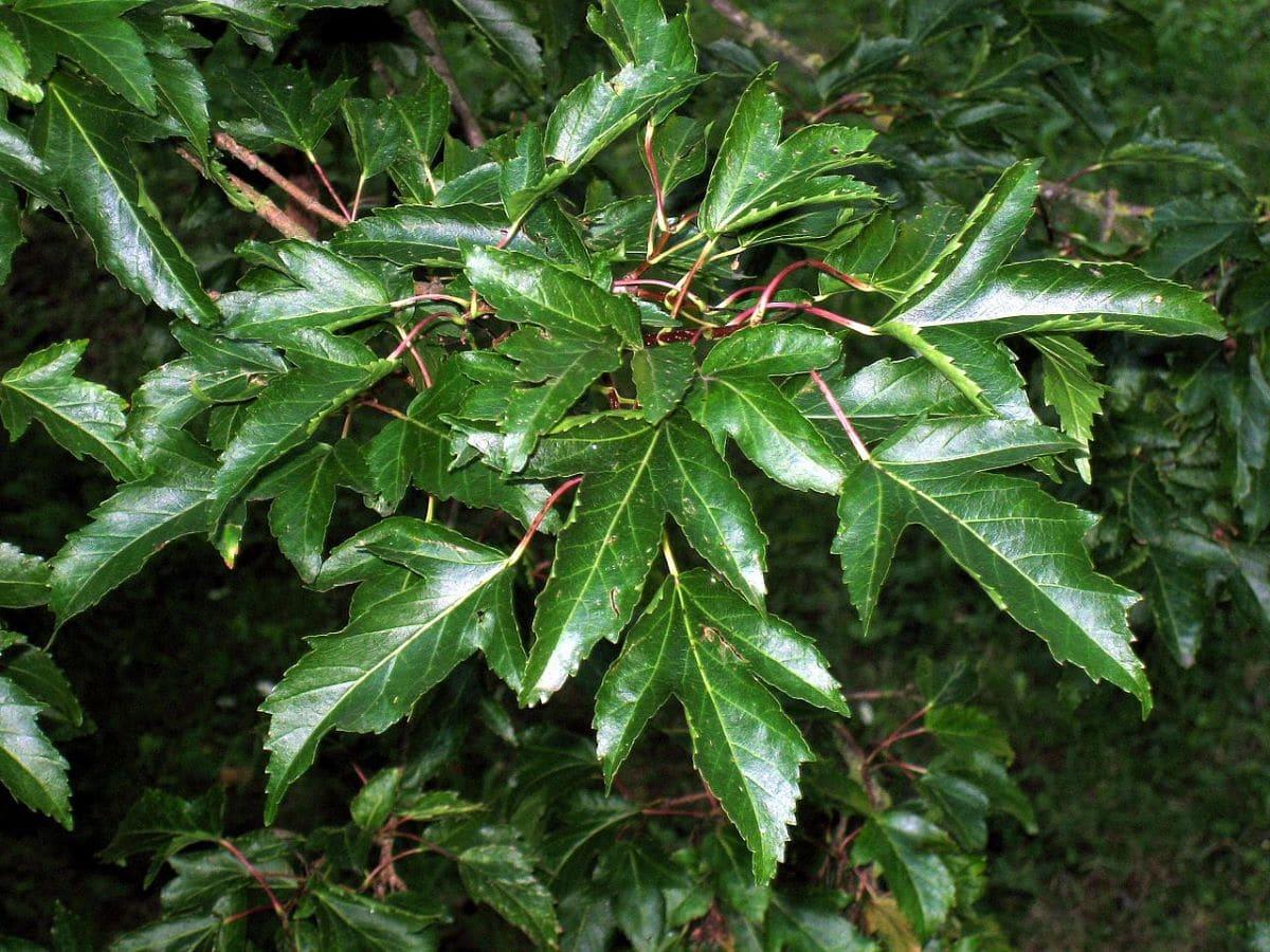 El Acer ginnala es un árbol pequeño