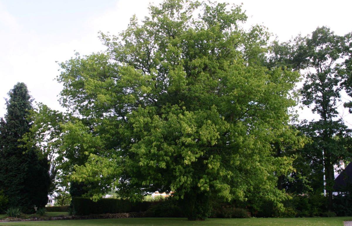 El Acer negundo es un árbol caducifolio