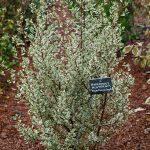 El aladierno es un arbusto que quiere sol