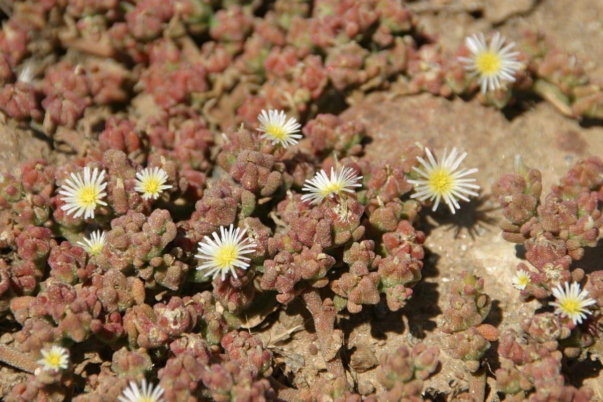 El algazul es una crasa con flores blancas pequeñas