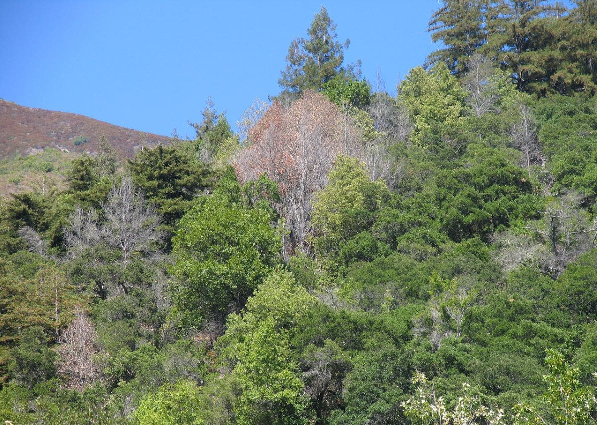 Los árboles mueren con phytopthora ramorum