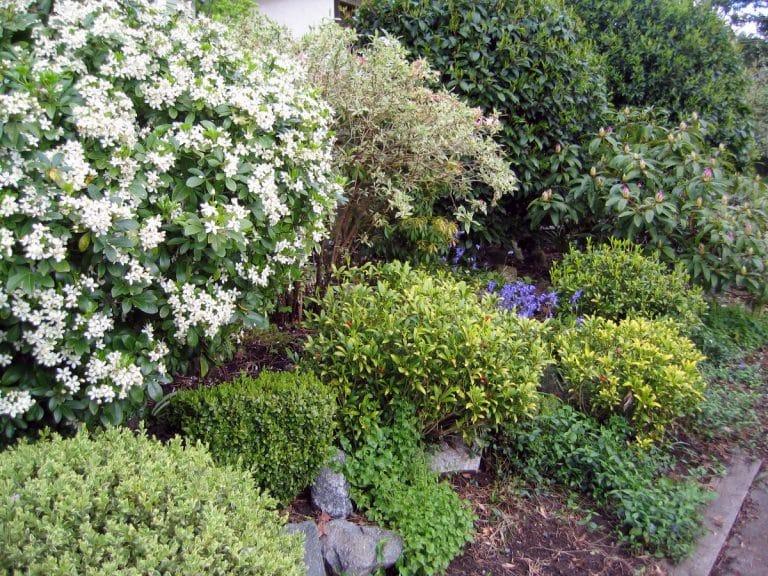 Los arbustos perennes de crecimiento rápido son ideales para setos