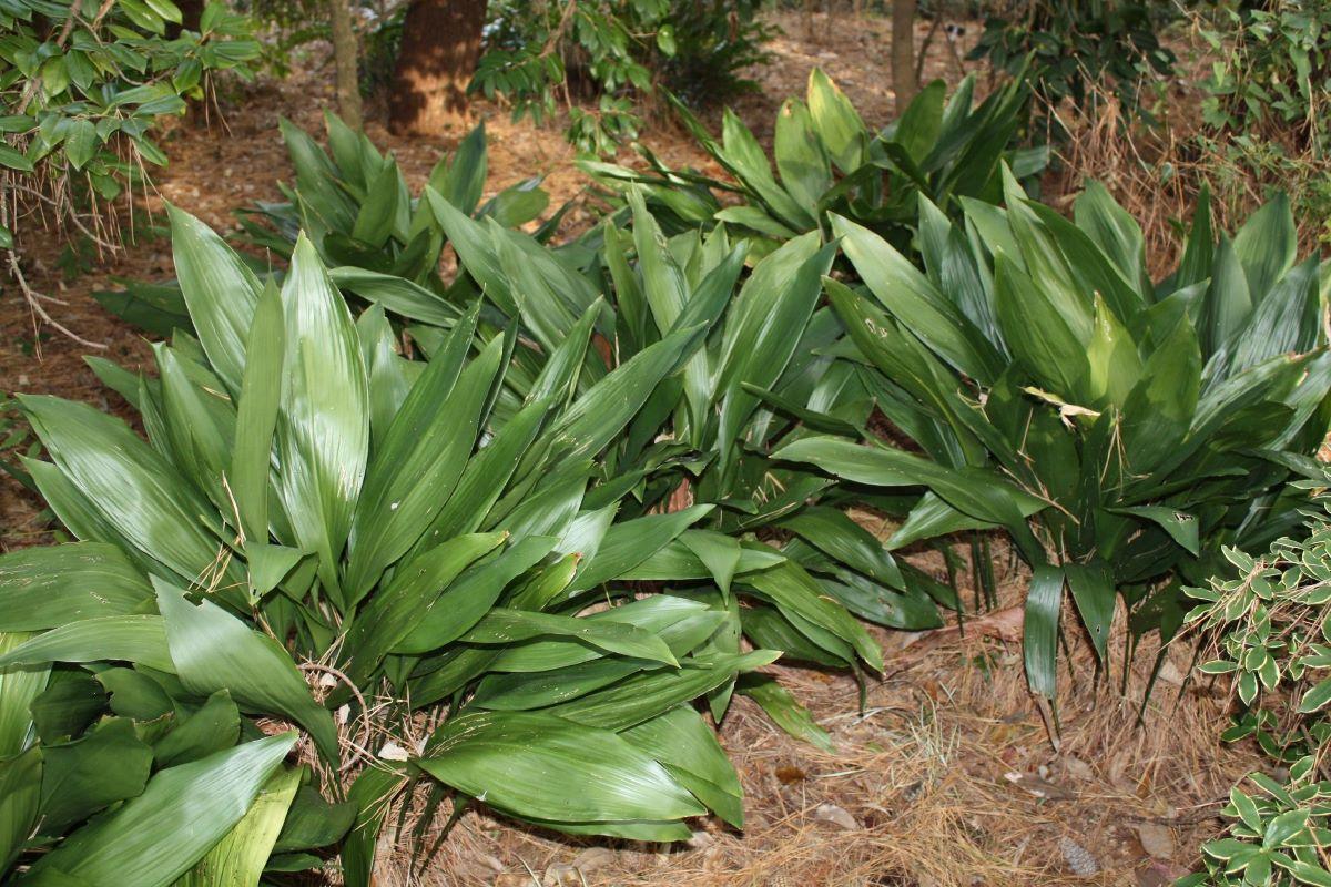 La aspidistra es una planta de sombra total