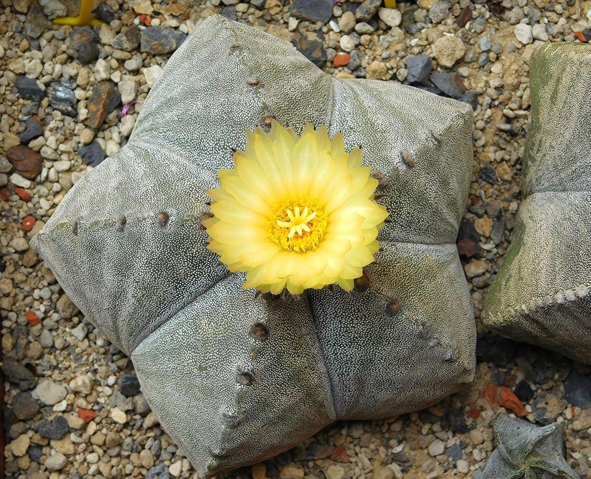 El Astrophytum myriostigma es un cactus sin espinas