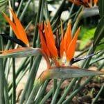 La planta ave del paraíso florece en primavera y verano