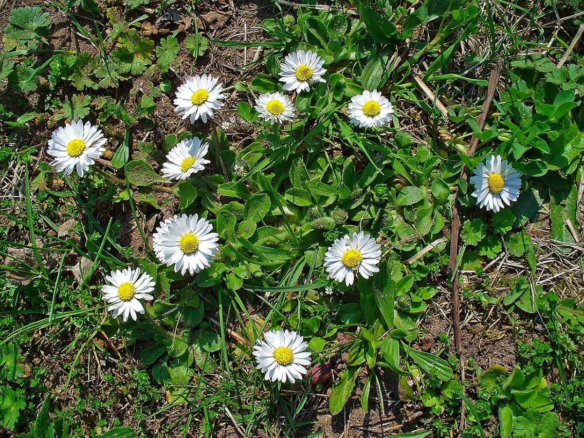 La margarita inglesa es pequeña, y da flores blancas