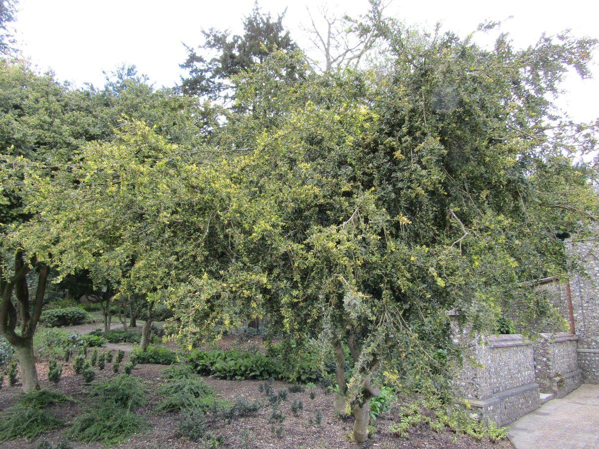 El boj es un árbol perennifolio