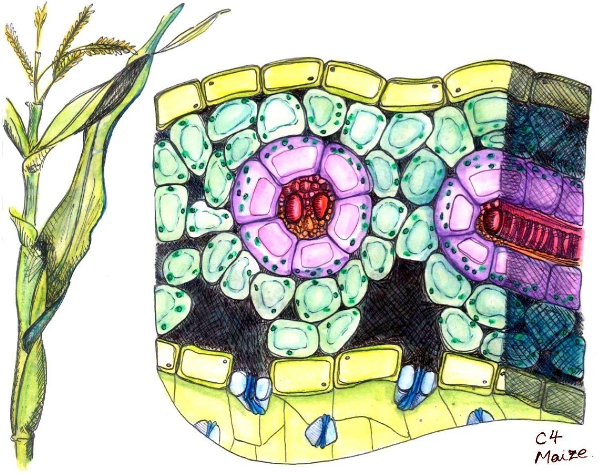 Las plantas C4 viven en regiones secas