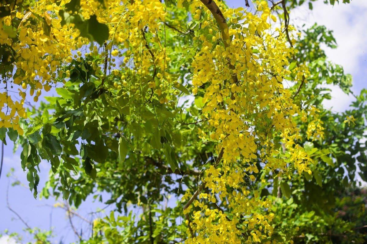 La Cassia fistula es un árbol pequeño para maceta