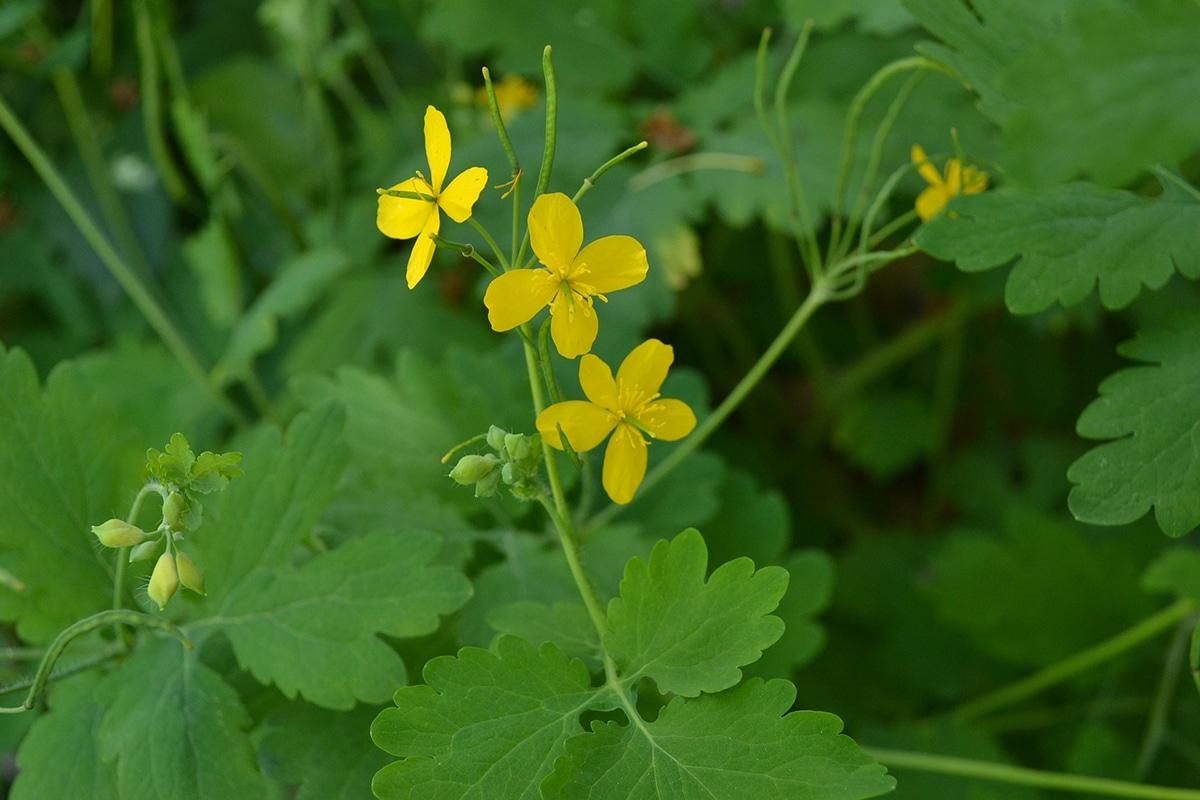 La Chelidonium majus es una platan ruderal con flores amarillas