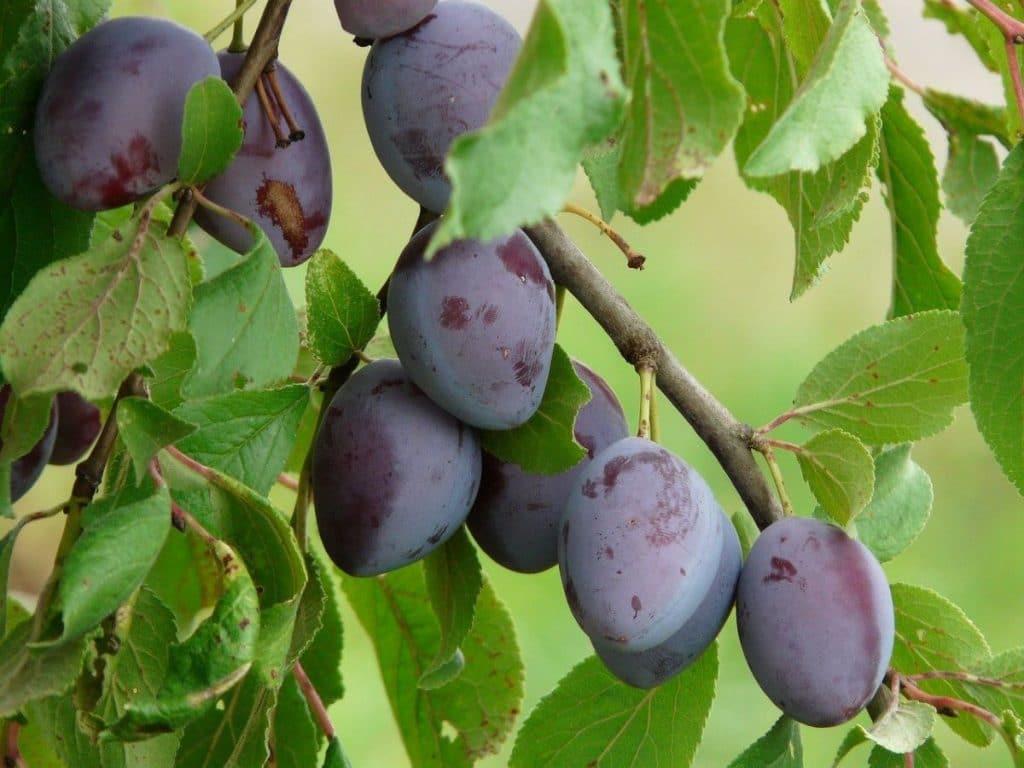 El ciruelo es un frutal caducifolio